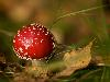Free Nature Wallpaper : Red Mushroom