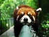 Free Nature Wallpaper : Red Panda