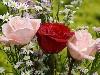 Free Nature Wallpaper : Roses