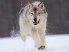 Free Nature Wallpaper : Running Wolf