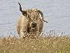 Free Nature Wallpaper : Scottish Cow