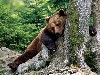 Free Nature Wallpaper : Scratching Bear