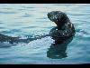 Free Nature Wallpaper : Sea Otter