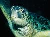 Free Nature Wallpaper : Sea Turtle