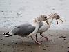 Free Nature Wallpaper : Seagulls