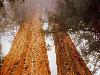 Free Nature Wallpaper : Sequoias
