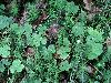 Free Nature Wallpaper : Shamrocks