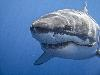 Free Nature Wallpaper : Shark