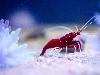 Free Nature Wallpaper : Shrimp