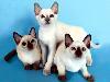 Free Nature Wallpaper : Siamese Cats