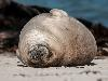 Free Nature Wallpaper : Sleepy Seal