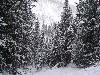 Free Nature Wallpaper : Snow Pines
