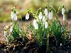 Free Nature Wallpaper : Snowdrops
