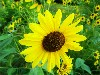 Free Nature Wallpaper : Sunflower