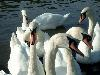 Free Nature Wallpaper : Swans (by Steve Christie)