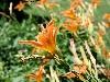 Free Nature Wallpaper : Tiger Lilies