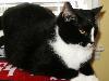 Free Nature Wallpaper : Tuxedo Cat