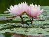 Free Nature Wallpaper : Water Lillies