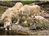 Free Nature Wallpaper : White Lion Family