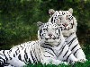 Free Nature Wallpaper : Albino Bengal Tigers