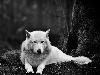 Free Nature Wallpaper : White Wolf