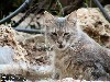Free Nature Wallpaper : Wild Cat