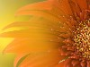 Free Nature Wallpaper : Windows 7 Official Wallpaper - Flower