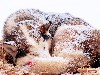 Free Nature Wallpaper : Winter Wolf
