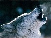 Free Nature Wallpaper : Wolf