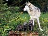 Free Nature Wallpaper : Wolf - Puppies