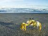 Free Nature Wallpaper : Yellow Crab