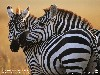 Free Nature Wallpaper : Zebras